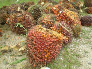 Fruto del Aceite de Palma