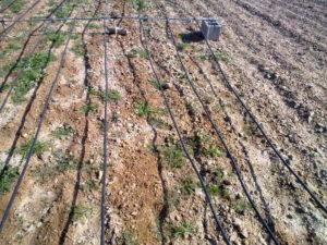 irrigación suelo salino